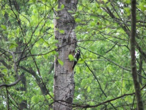 Hairy Woodpecker at nest hole