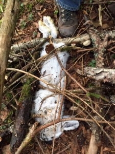 snowshoe bunny